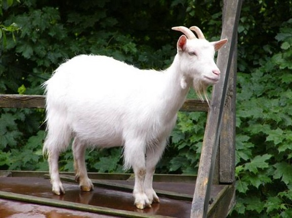 В Измаиле коза упала в люк