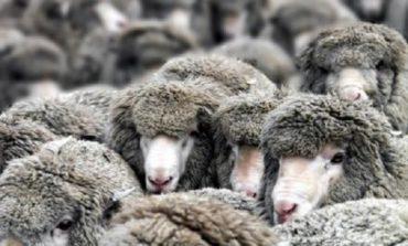 В Измаильском районе разбойники связали пастуха и украли 300 овец - правоохранитель