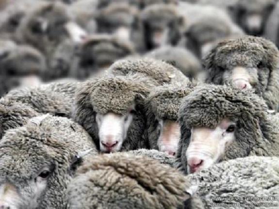 В Измаильском районе разбойники связали пастуха и украли 300 овец — правоохранитель