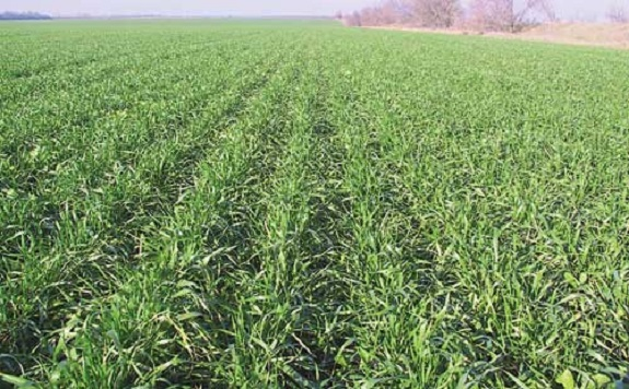 Арцизские аграрии надеются на хороший урожай озимых