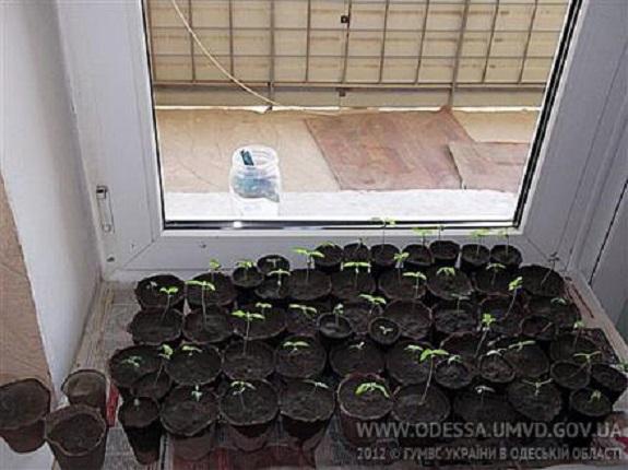 Жительница Рени выращивала коноплю в вазонах