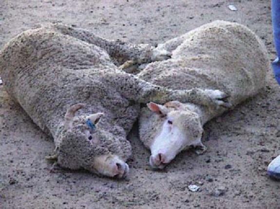 В Бессарабии стихия унесла жизни 150 овец за 15 минут