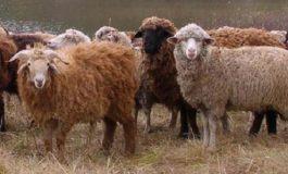 В Болградском районе незаконно паслась отара овец из Молдавии