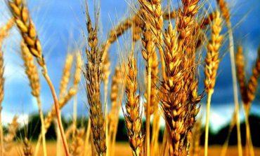 В Арцизе сбор урожая подошёл к финальной стадии