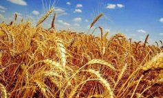 Остатки пшеницы в Украине составили 7 миллионов тонн