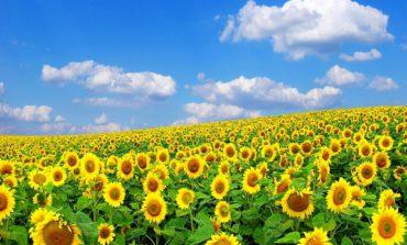 Украина стала крупнейшим экспортером подсолнечного масла