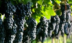 В Саратском районе состоится фестиваль домашнего виноделия