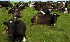 Поголовье коров уменьшилось более чем на 6% за год