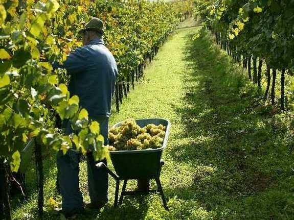 Парламент Украины принял законопроект по стимулированию развития виноградарства