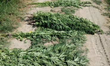 Недалеко от Одессы обнаружили 1,5 га насаждений конопли