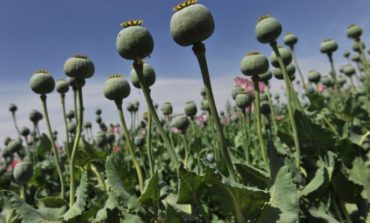 В Болградском районе на приусадебных участках обнаружили запрещенные растения