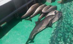 В Одесской области в браконьерских сетях погибло семь дельфинов