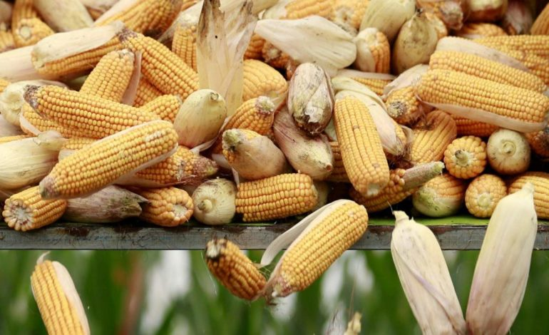 На экспорт ушло почти 17 миллионов тонн украинской кукурузы