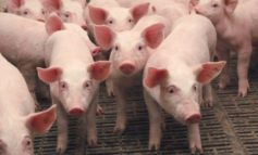 В Одесской области зафиксирована вспышка чумы свиней