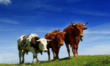 В Арцизском районе резко сократилась численность крупного рогатого скота