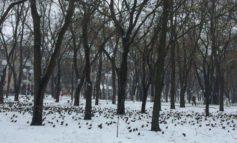 В Измаиле нашествие скворцов: холод и голод гонит птиц в город (ВИДЕО, ФОТО)
