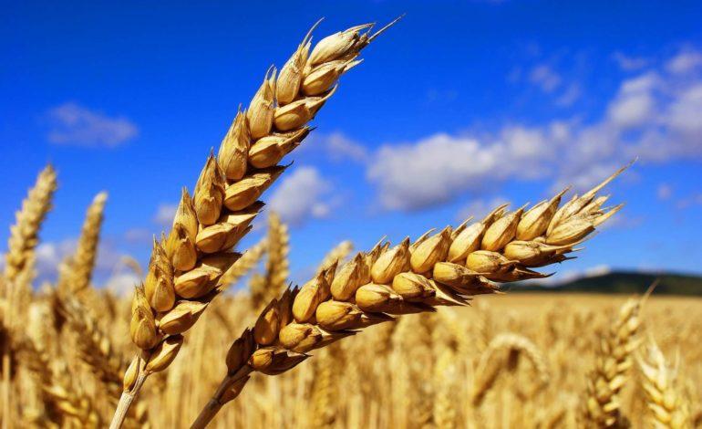 С начала января Украина использовала большую часть квот на поставку зерна в ЕС