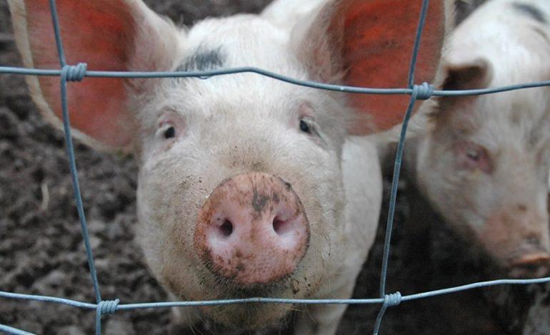 В Гагаузии и Тараклии — африканская чума свиней; ввоз мяса из Украины запрещен