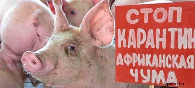 Африканская чума свиней добралась до Измаила. В городе ввели карантин