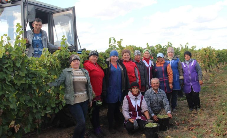 На плантациях предприятия «Шампань Украины» села Надеждовка завершается уборка винограда