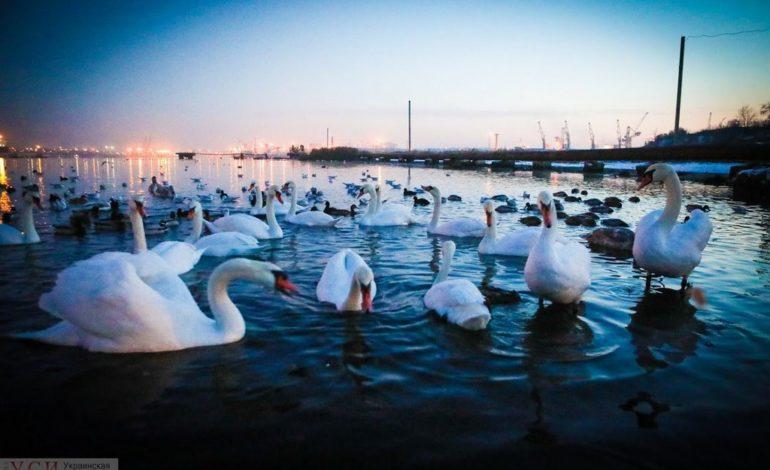 Под Одессой лебеди слетелись на зимовку (фото)