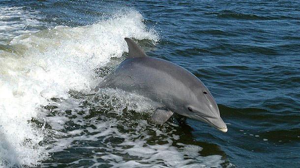 Украина, Болгария, Румыния и Турция взялись за перепись и восстановление популяции дельфинов в Черном море