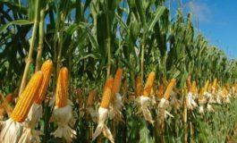 Украина продала Египту почти 300 тысяч тонн кукурузы