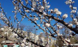 В Арцизе расцвели абрикосы: на удивление рано этой весной (фото)