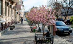 В Одессе зацвела аллея сакур (фото)