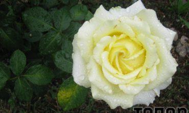 Розы Арциза с каплями дождя (ФОТО)