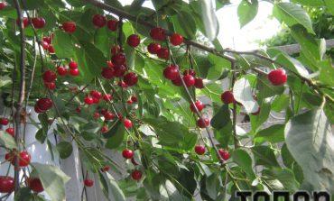 В Арцизе уже вовсю спеют вишни! (ФОТО)