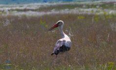 В Одесской области в заповедную степь прилетел красно-книжный журавль-красавка (фото)