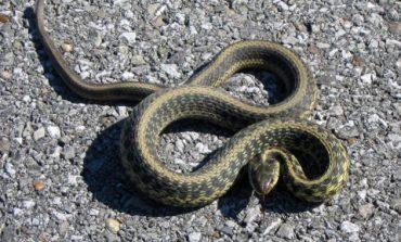 Во Львовской области зафиксировали два случая нападения змей