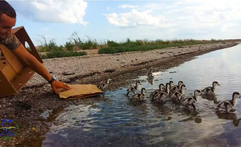 В «Тузловских лиманах» спасли птенцов пеганки