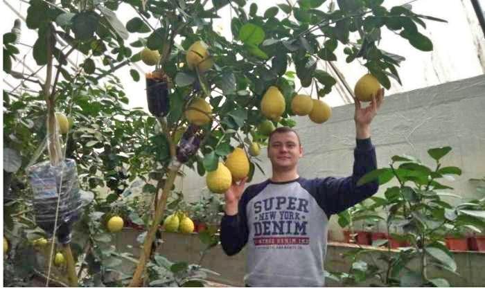 Одессит  выращивает гигантские лимоны