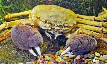 В Днепро-Бугском лимане выловили несколько мохнаторуких китайских крабов: экологи бьют тревогу