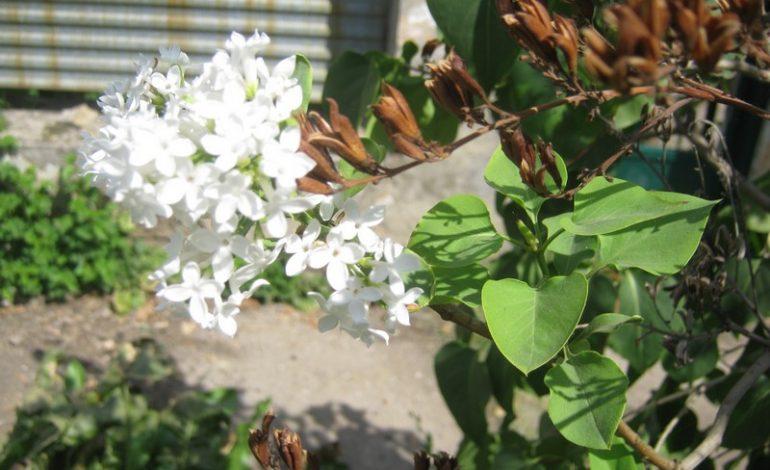В Арцизе в сентябре цветёт сирень (ФОТОФАКТ)