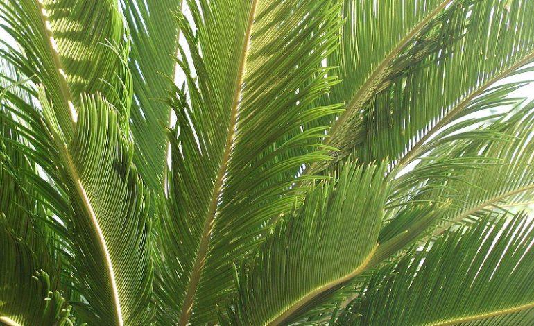 За решетку из-за пальмы: одесситу грозит до пяти лет заключения за кражу экзотического растения
