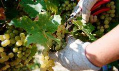 В Украине появился новый праздник, посвященный виноделию