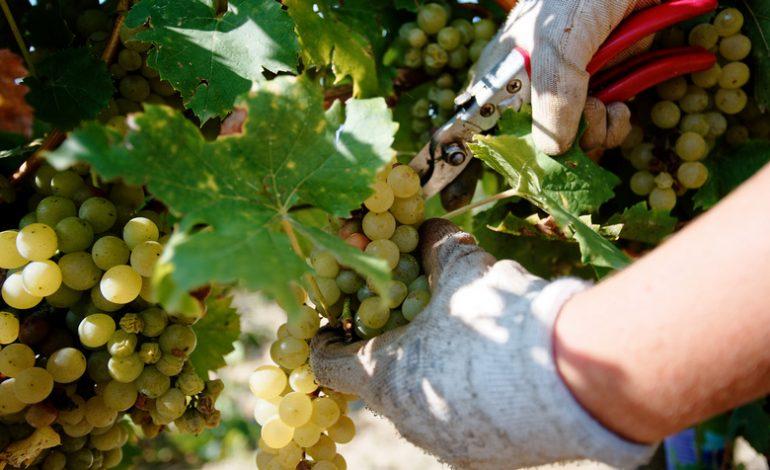 В Украине вдвое уменьшилась переработка винограда