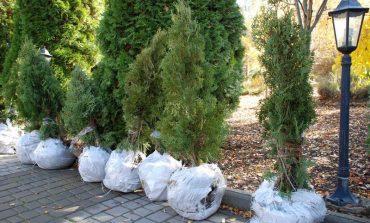 Болград: Свято-Николаевскому собору подарили саженцы вечнозеленого дерева