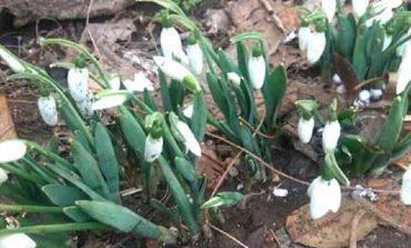 В Арцизе расцвели предвестники весны (фото)