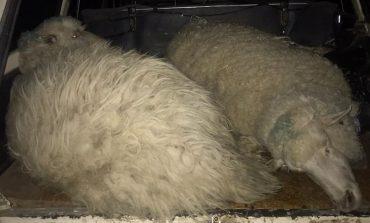 В Измаильском районе разоблачили похитителей овец