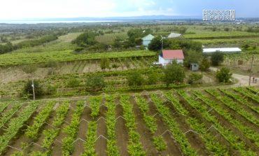 В Ренийском районе фермеры выкорчёвывают виноградники и высаживают … бананы