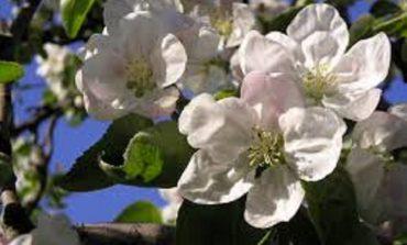 В Арцизе вновь зацвели яблони (фотофакт)