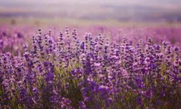 На юге Одесской области из урожая лаванды изготовят ароматические мешочки