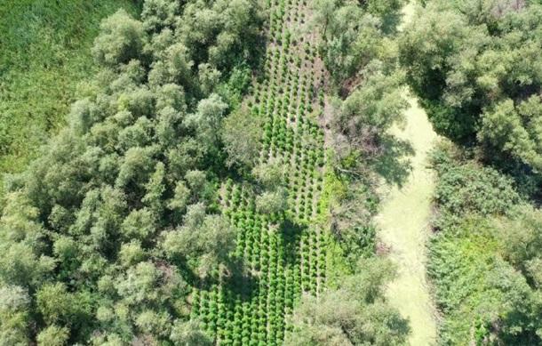 В Одесской области обнаружена плантация конопли