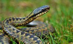 В Украине с начала года 36 человек пострадали от укусов змей