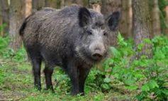 В Одесской области охотников  предупреждают об африканской чуме среди диких кабанов