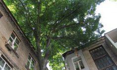 Не хлебом единым: городские деревья тоже страдают от засухи